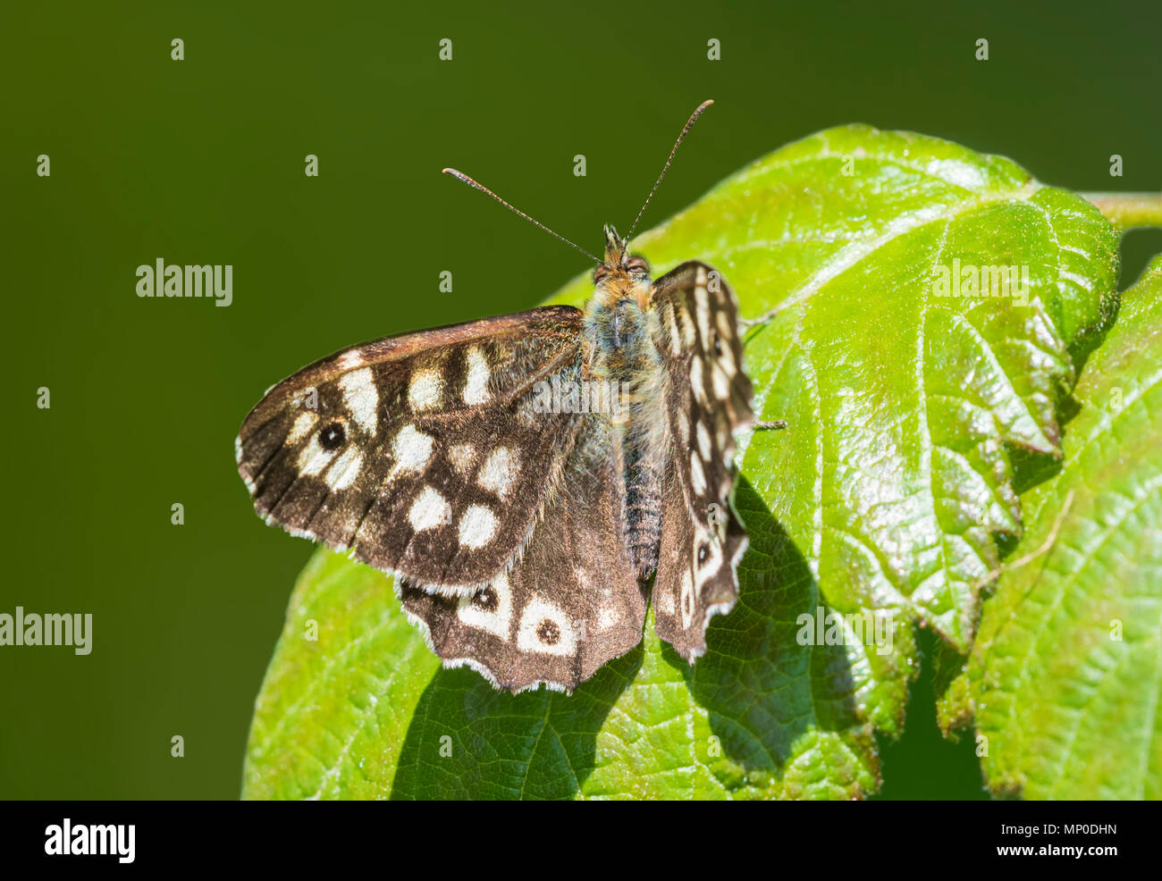 Speckled Wood (Pararge aegeria) butterfly resting on a green leaf in late Spring in Southern England, UK. - Stock Image