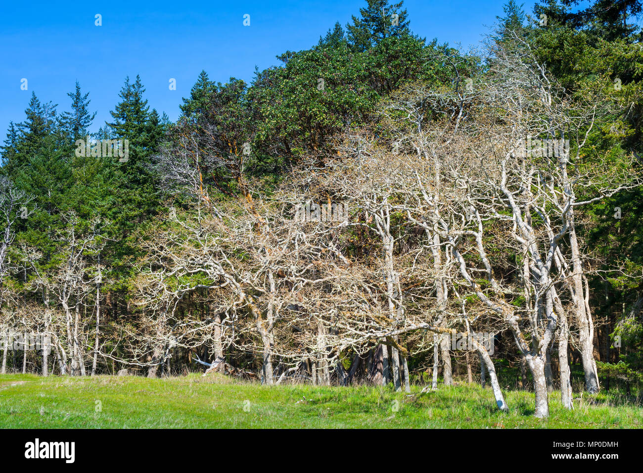 Garry Oak trees, Helliwell Provincial Park, Hornby Island, BC, Canada. - Stock Image