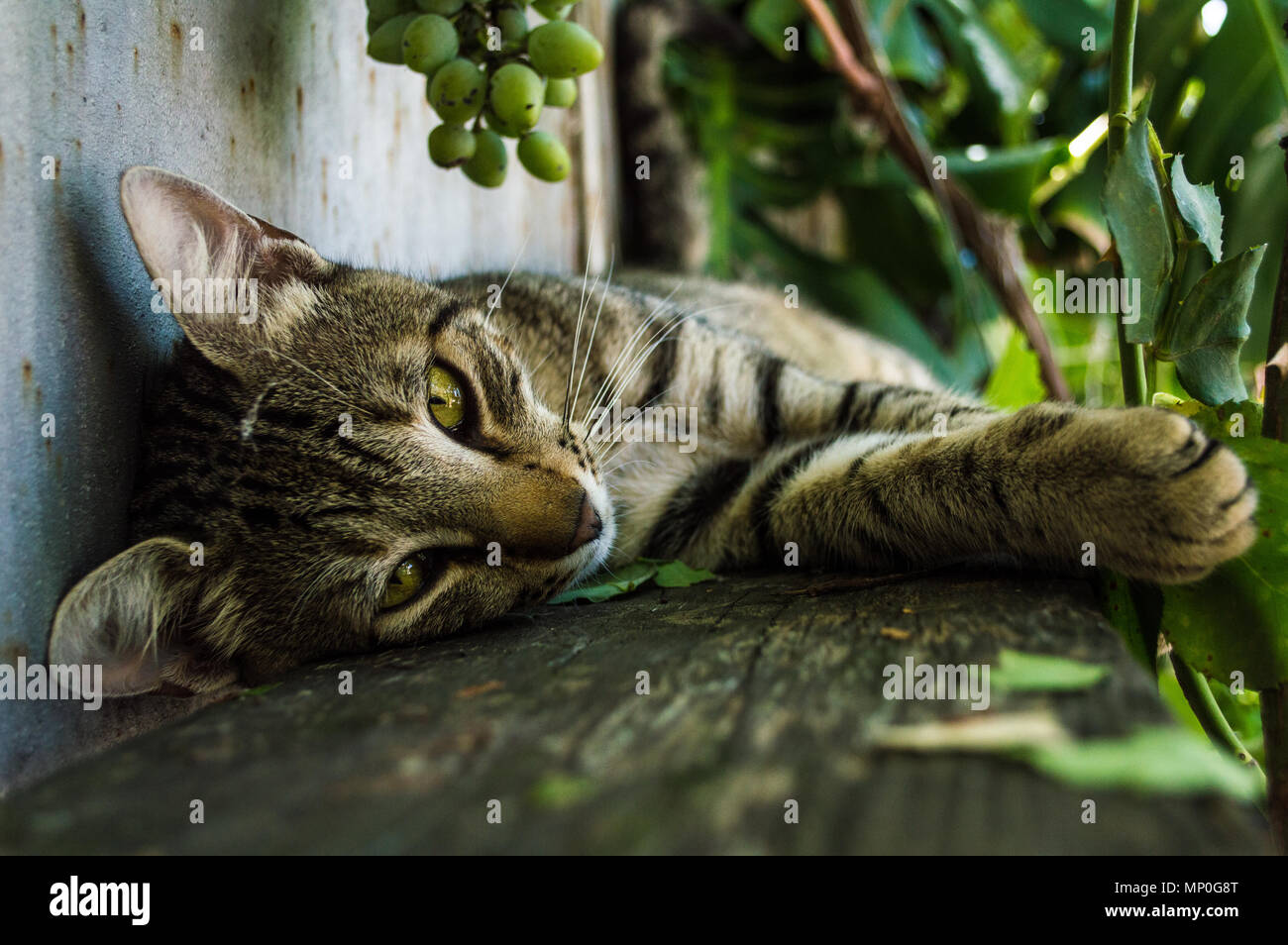 Close-up of an domestic cat - Stock Image