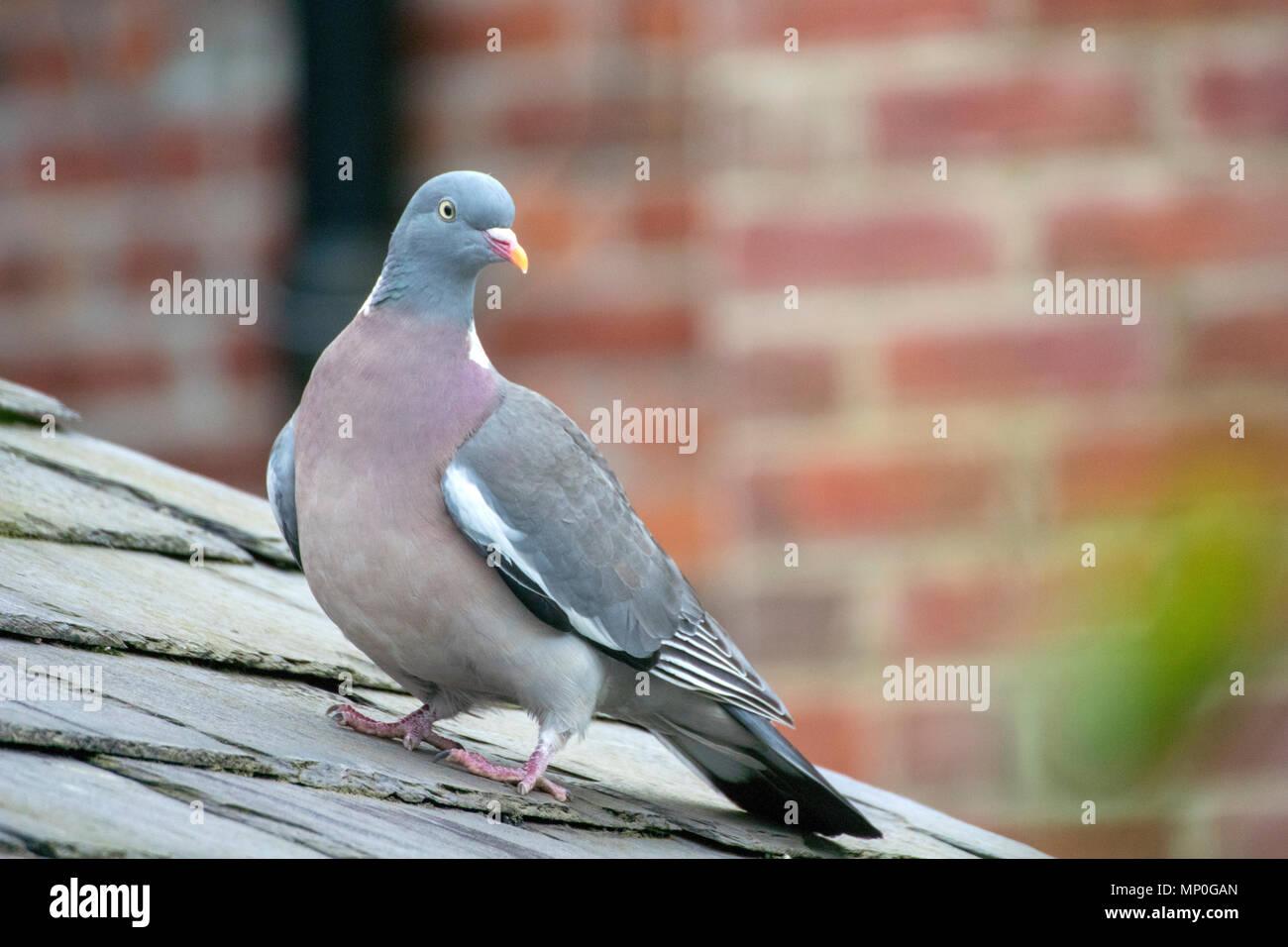 Urban wood pigeon - Stock Image
