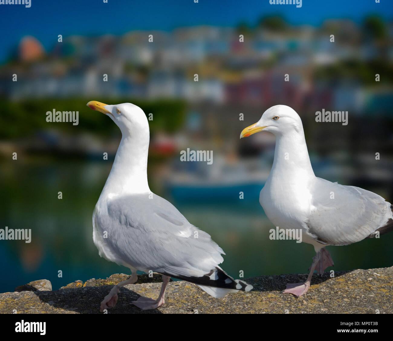 WILDLIFE: European Herring Gulls at Brixham Harbour, Devon, Great Britain - Stock Image