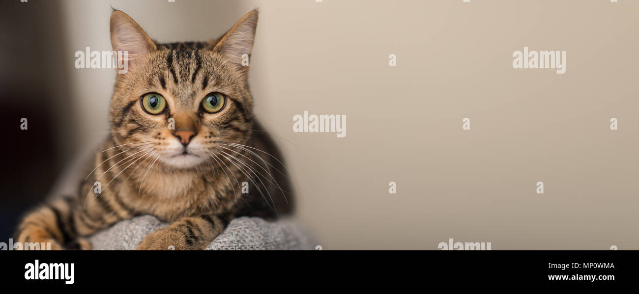 Relaxed domestic cat at home, indoor - Stock Image