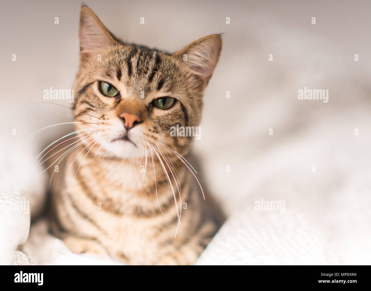 Beautiful angry domestic cat at home - Stock Image