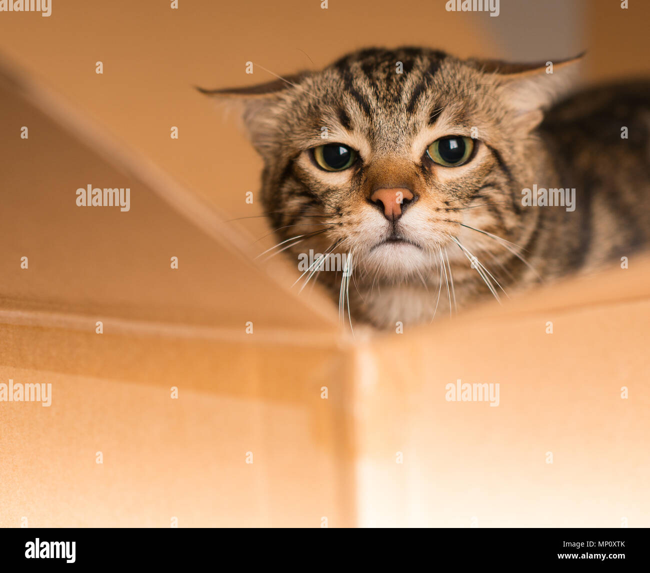 Beautiful cat playing hide and seek in a cardboard box Stock Photo