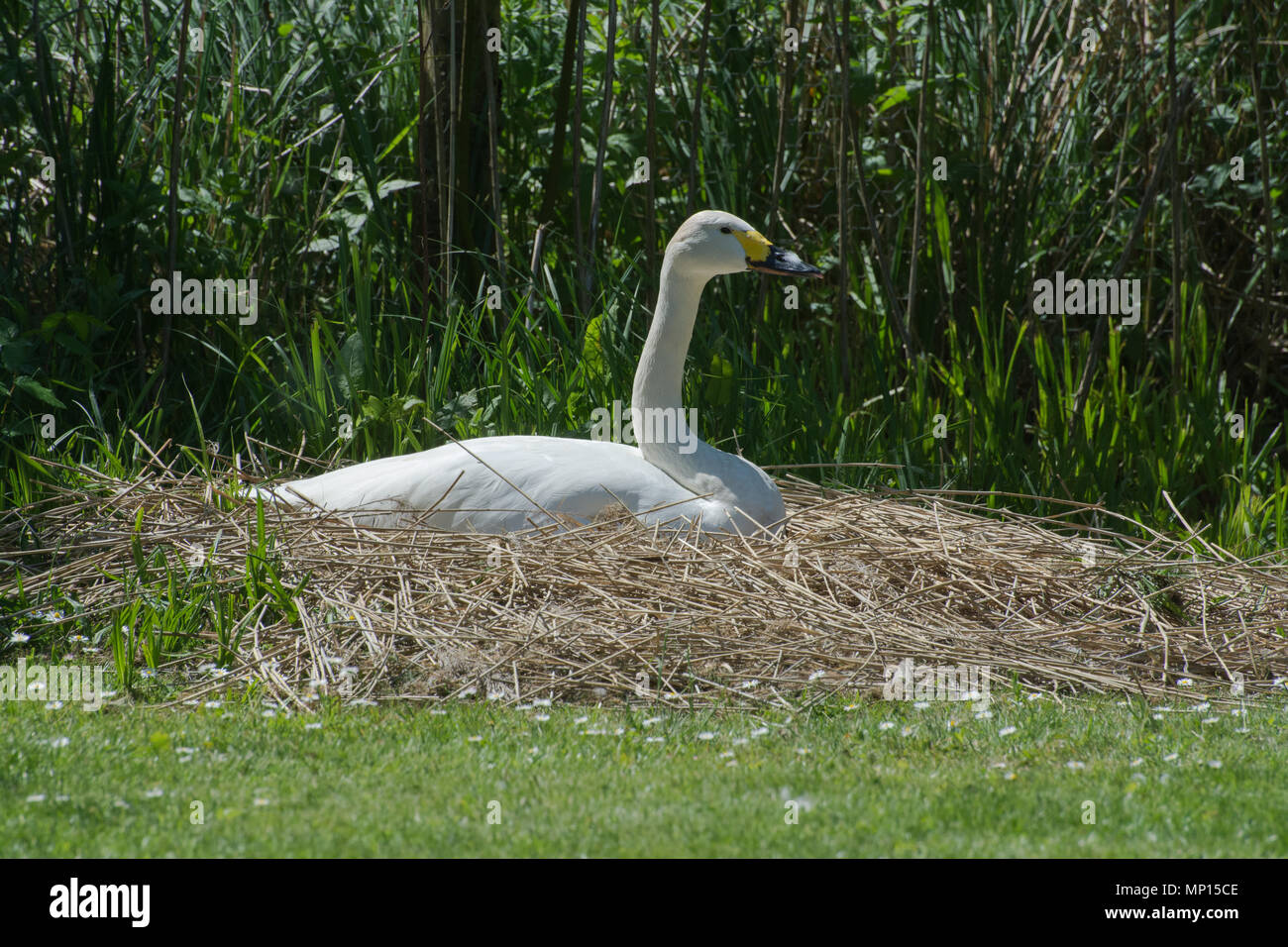 Bewick's swan sitting on her nest at Arundel Wildfowl and Wetlands Trust, West Sussex, UK - Stock Image