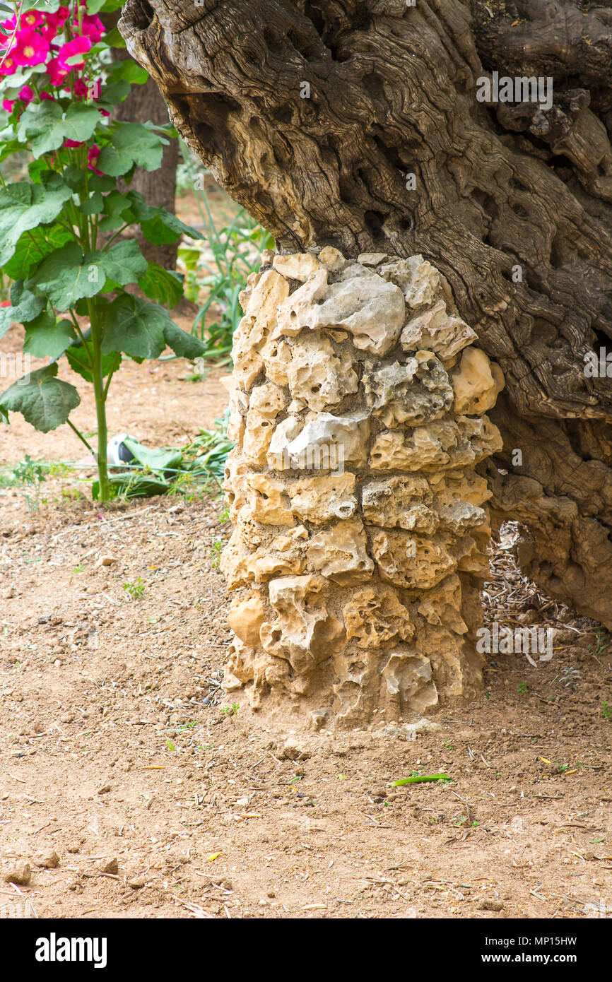 A stone construction built under the trunk of an ancient olive tree in the Garden of Gethsemane Jerusalem to give it support and prevent it from falli - Stock Image