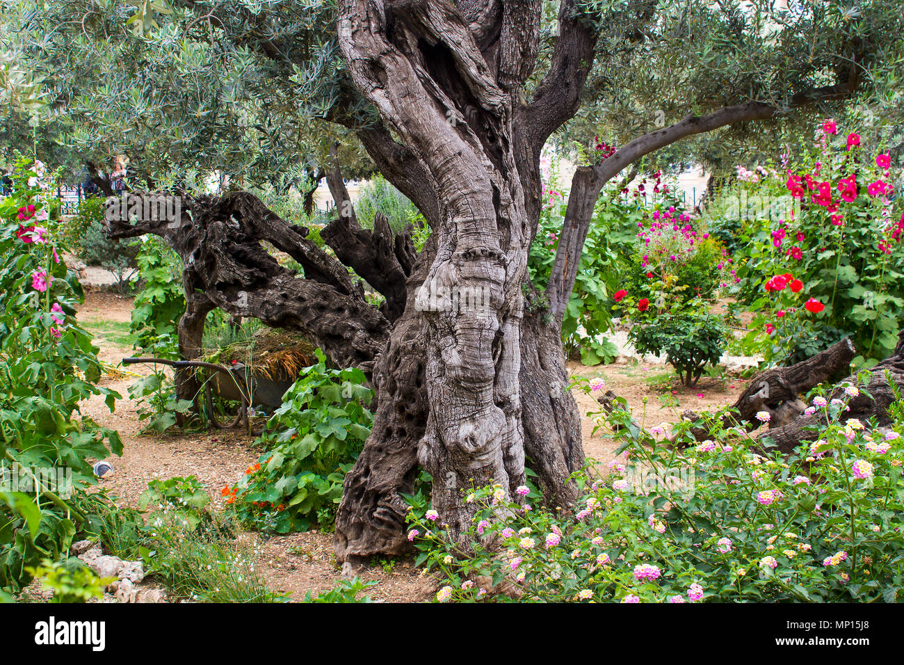 Ancient Olive Trees and young herbaceous plants living side by side in the historic Garden of Getshemene the scene of Jesus Christ's agonising prayer - Stock Image