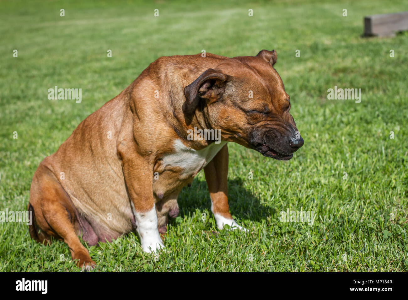 Gravid female dog sitting on a meadow - Stock Image