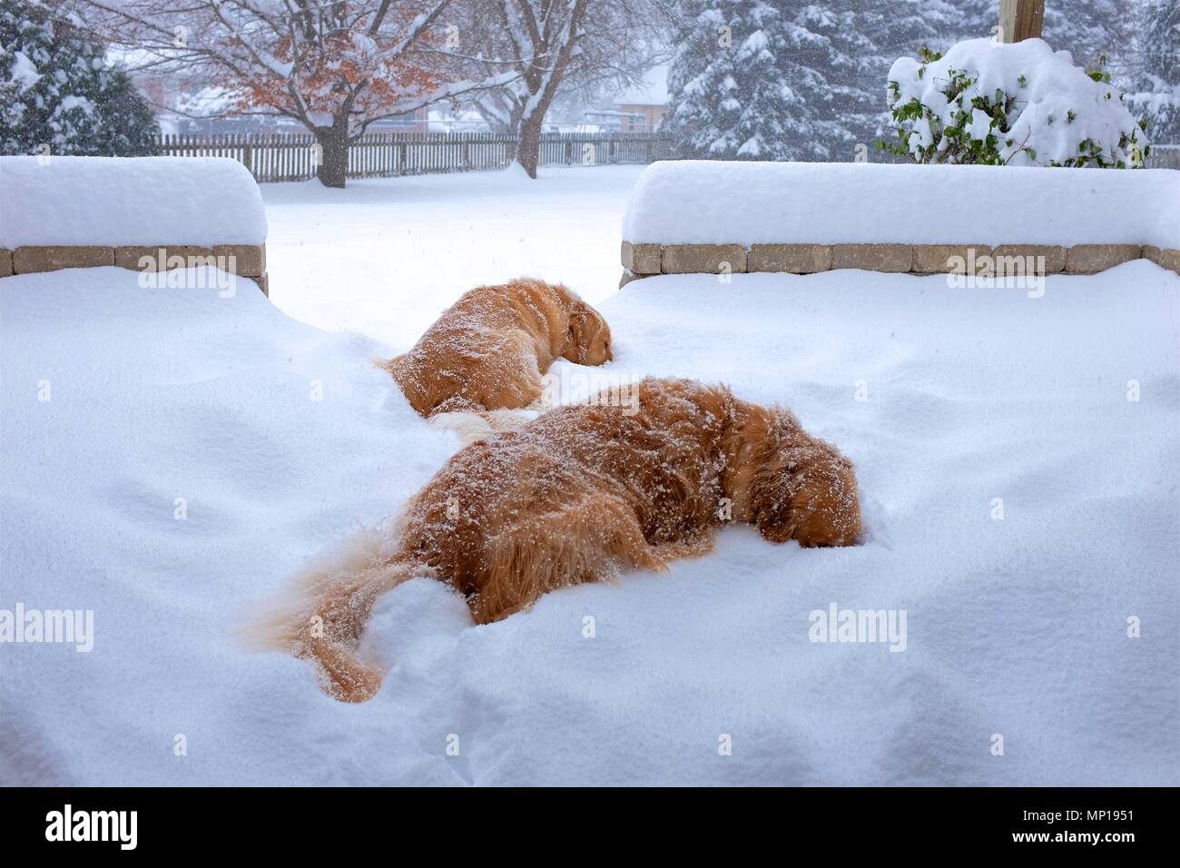 Two Golden Retrievers  play 'Simon says' in the snow. - Stock Image
