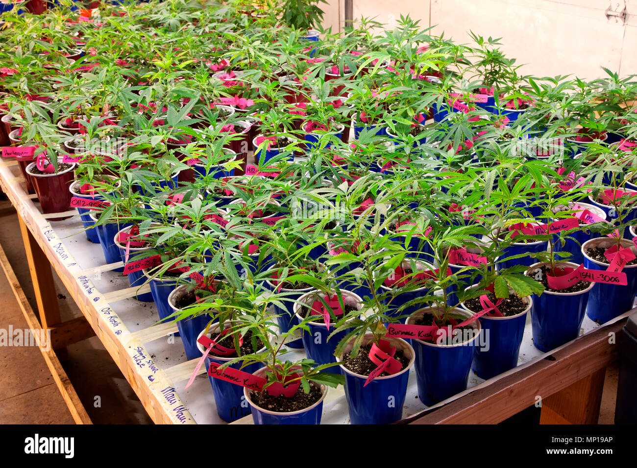 Young 'Cannabis sativa' plants growing in containers, artificial lighting, nursery, weed farm, Washington State. - Stock Image