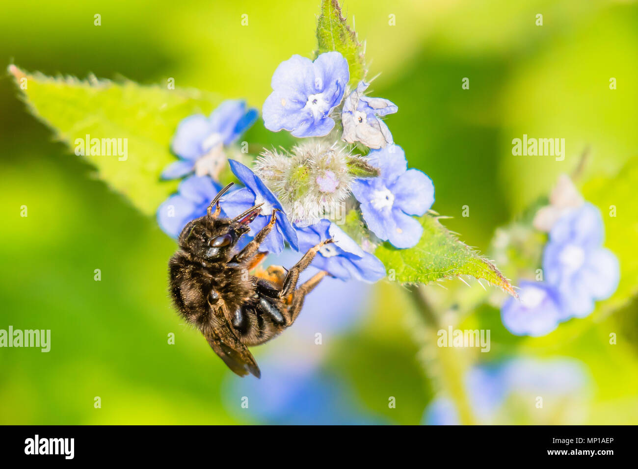 Honey bee collecting nectar from forget me not flowers on british meadow in spring.Stunning wildlife uk.Natural world conservation.Nature Uk. - Stock Image