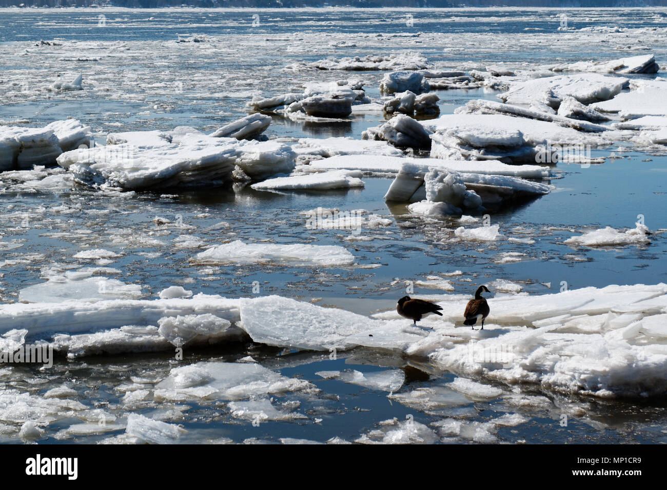 Two Canada geese on ice floes on the St Lawrence River in Quebec City, Quebec, Canada - Stock Image