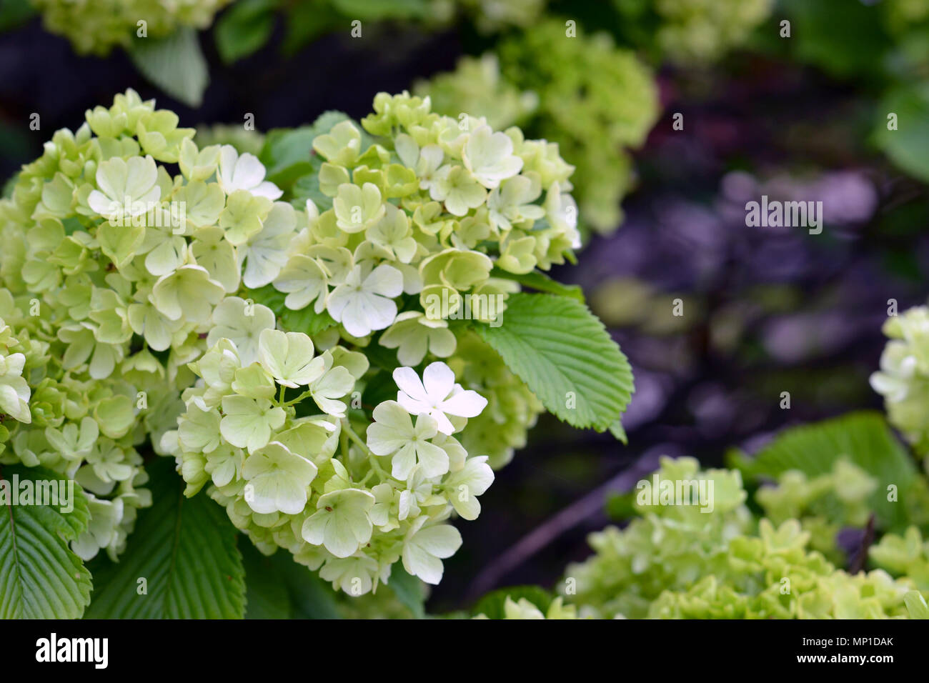 Snowball Bush Blooming In Spring Stock Photo 185658555 Alamy