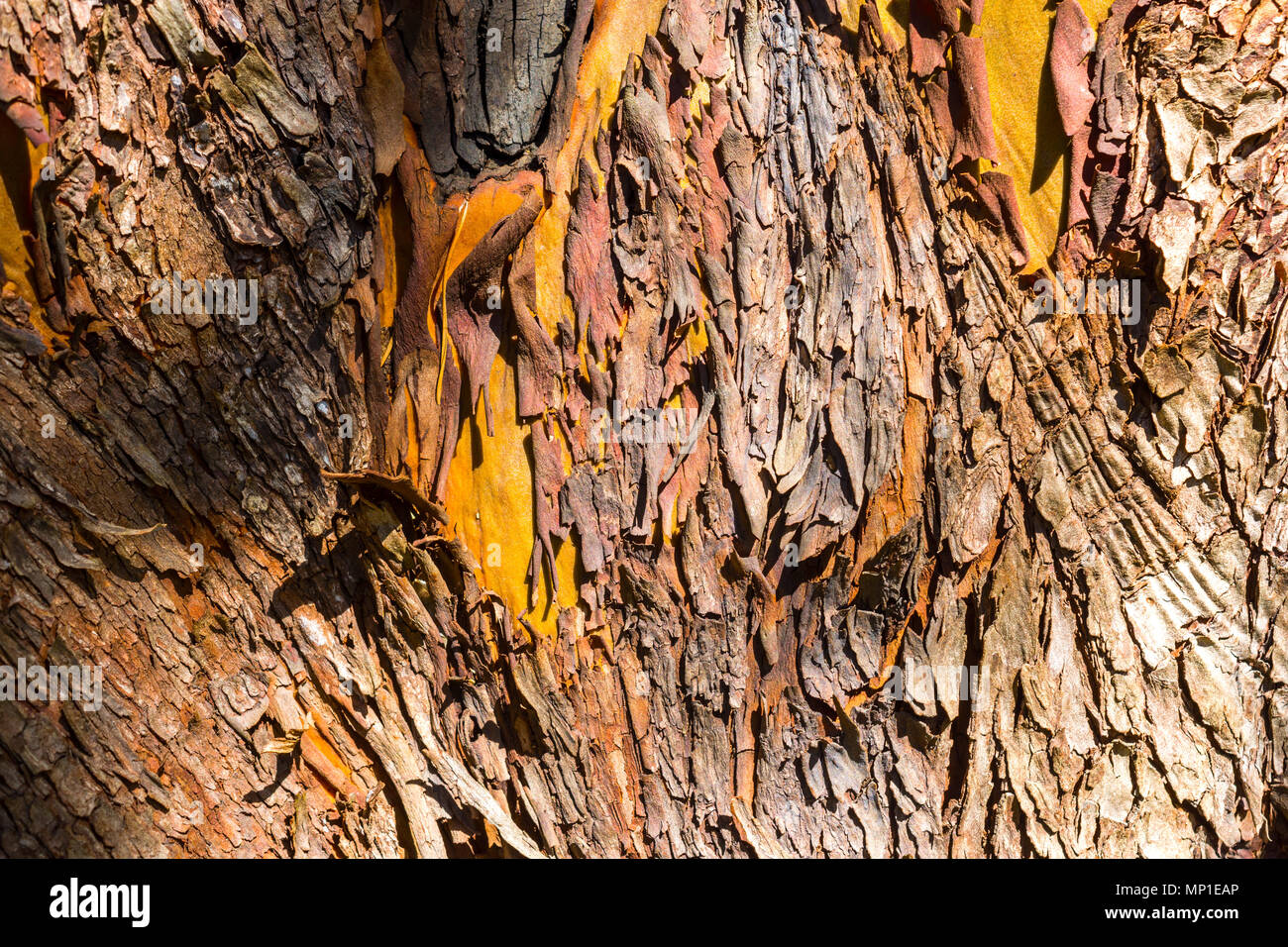 Arbutus unedo trees, Helliwell Provincial Park, Hornby Island, BC, Canada. - Stock Image