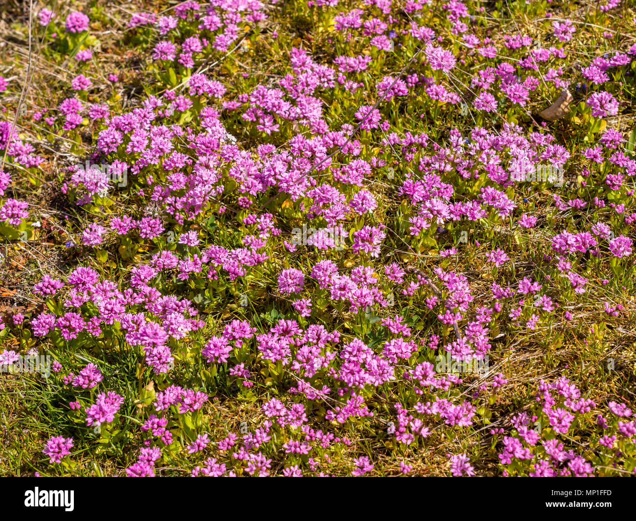 Sea Thrift plants, Helliwell Provincial Park, Hornby Island, BC, Canada. - Stock Image
