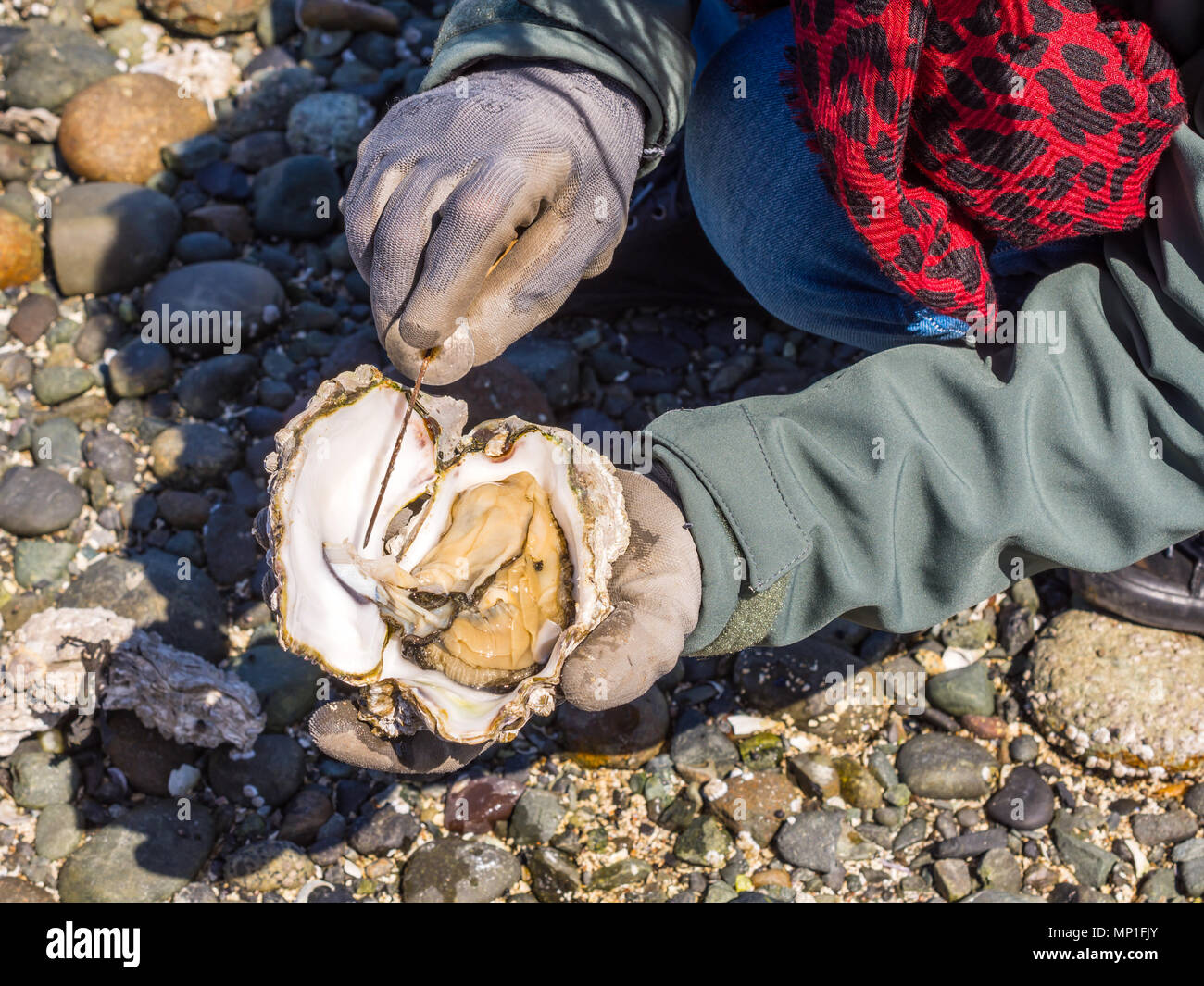Opening Pacific Oyster found on beach, Helliwell Provincial Park, Hornby Island, BC, Canada. - Stock Image