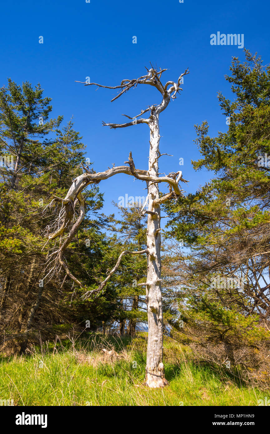 Dead Pine tree, Helliwell Provincial Park, Hornby Island, BC, Canada. - Stock Image