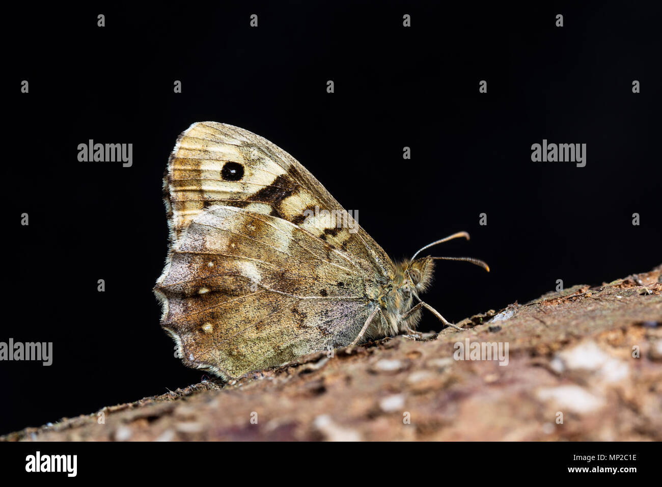 Speckled Wood butterfly,  Pararge aegeria, underside. Family Nymphalidae. Monmouthshire, UK, May - Stock Image