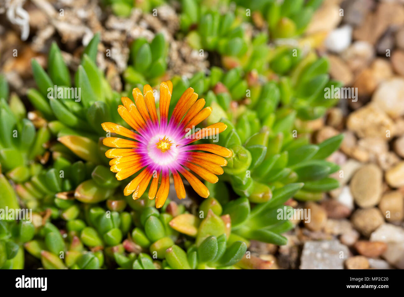 Delosperma 'Fire Spinner', a succulant plant semi-hardy in the UK.  Originally from South Africa, family Aizoaceae - Stock Image