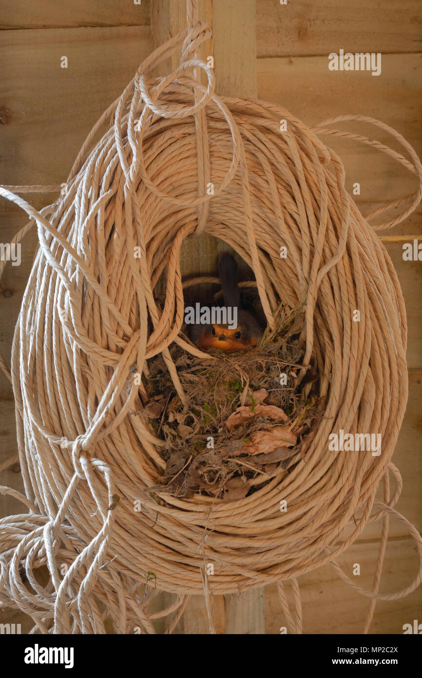 Robin, Erithacus rubecula, nesting in a roll of twine in a garden shed. Monmouthshire, UK. - Stock Image