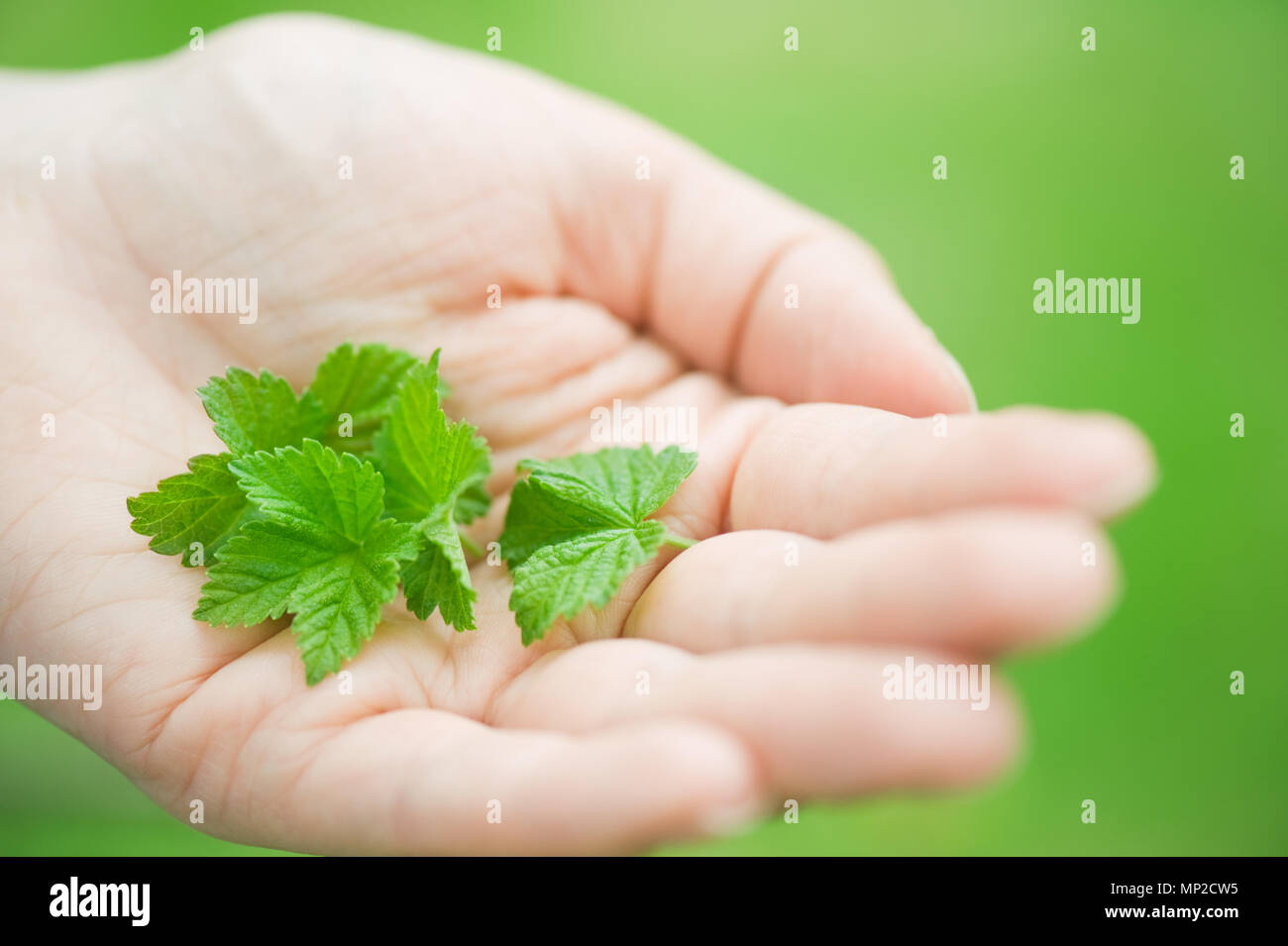 Fresh green black currant leaves on hand. Stock Photo