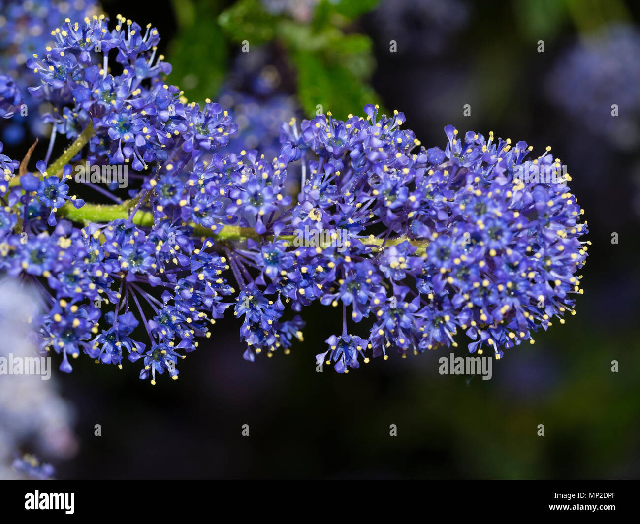 Densely packed blue flowers in the head of the Californian lilac, Ceanothus 'Concha' - Stock Image