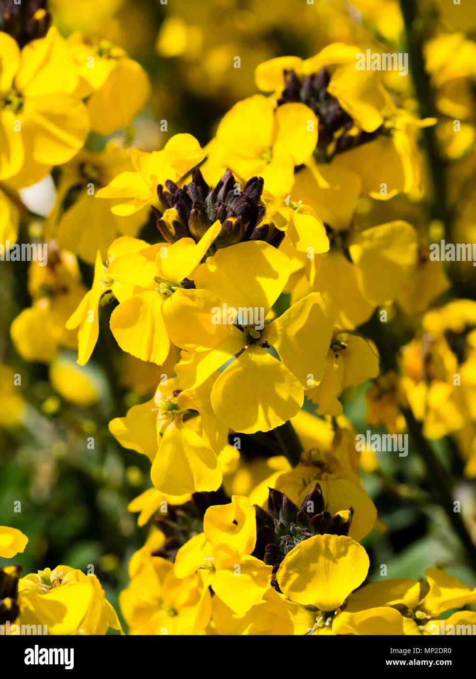 Fragrant yellow flowers of the short lived long flowering shrubby fragrant yellow flowers of the short lived long flowering shrubby perennial erysimum bowles yellow mightylinksfo