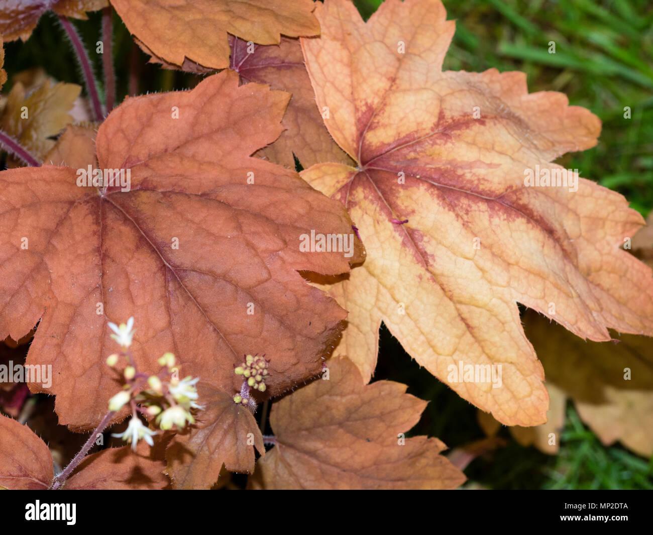 Decorative russet brown foliage of the hardy evergreen perennial, Heuchera 'Sweet Tea' - Stock Image