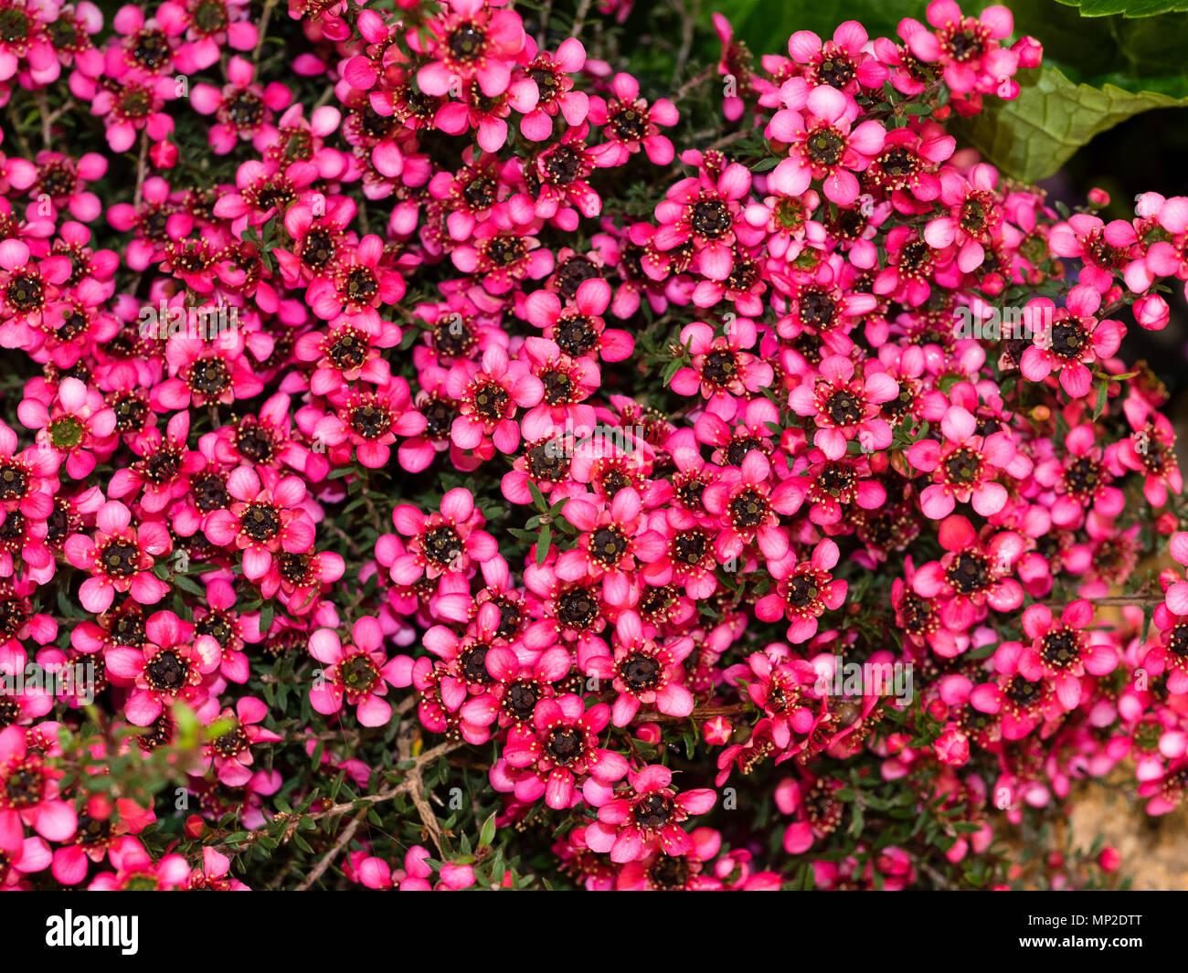 Red flowered form of the New Zealand Manuka or tea tree, Leptospermum scoparium 'Kiwi, hardy in milder climates - Stock Image