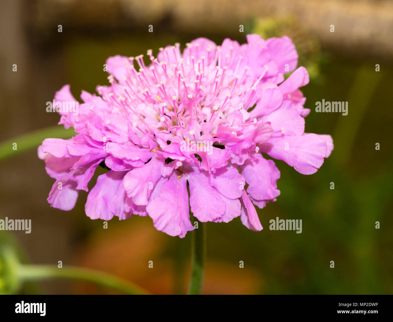Pincushion Flowers Of The Summer Flowering Hardy Perennial Scabious
