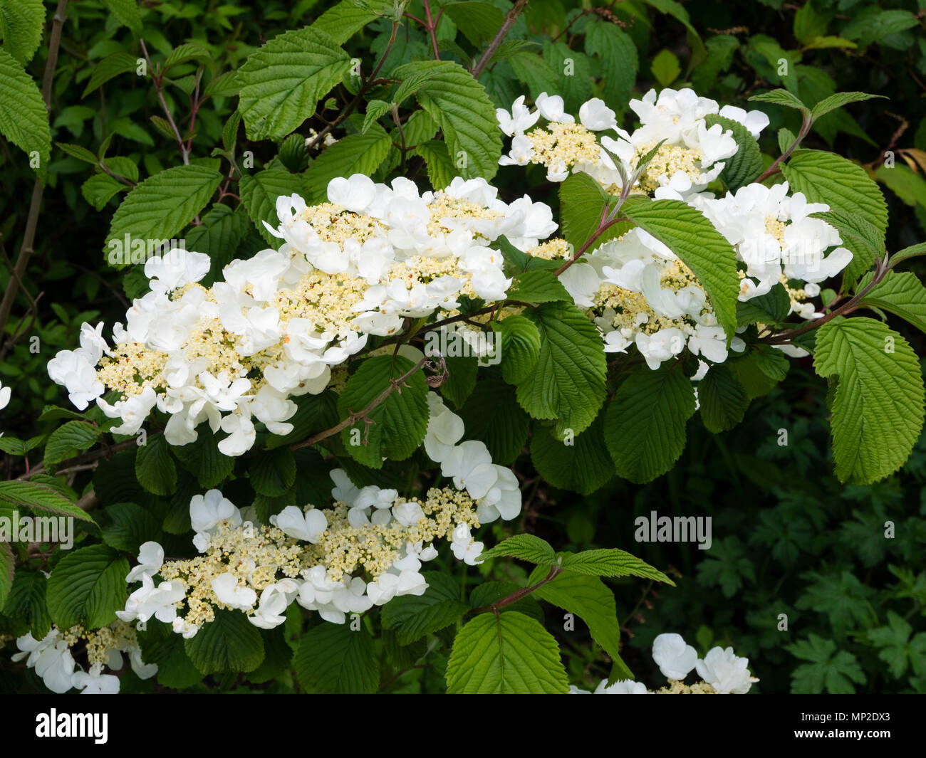 Tiered deciduous branching and late spring lacecap flowers of the hardy shrub, Viburnum plicatum f. tomentosum 'Mariesii' - Stock Image