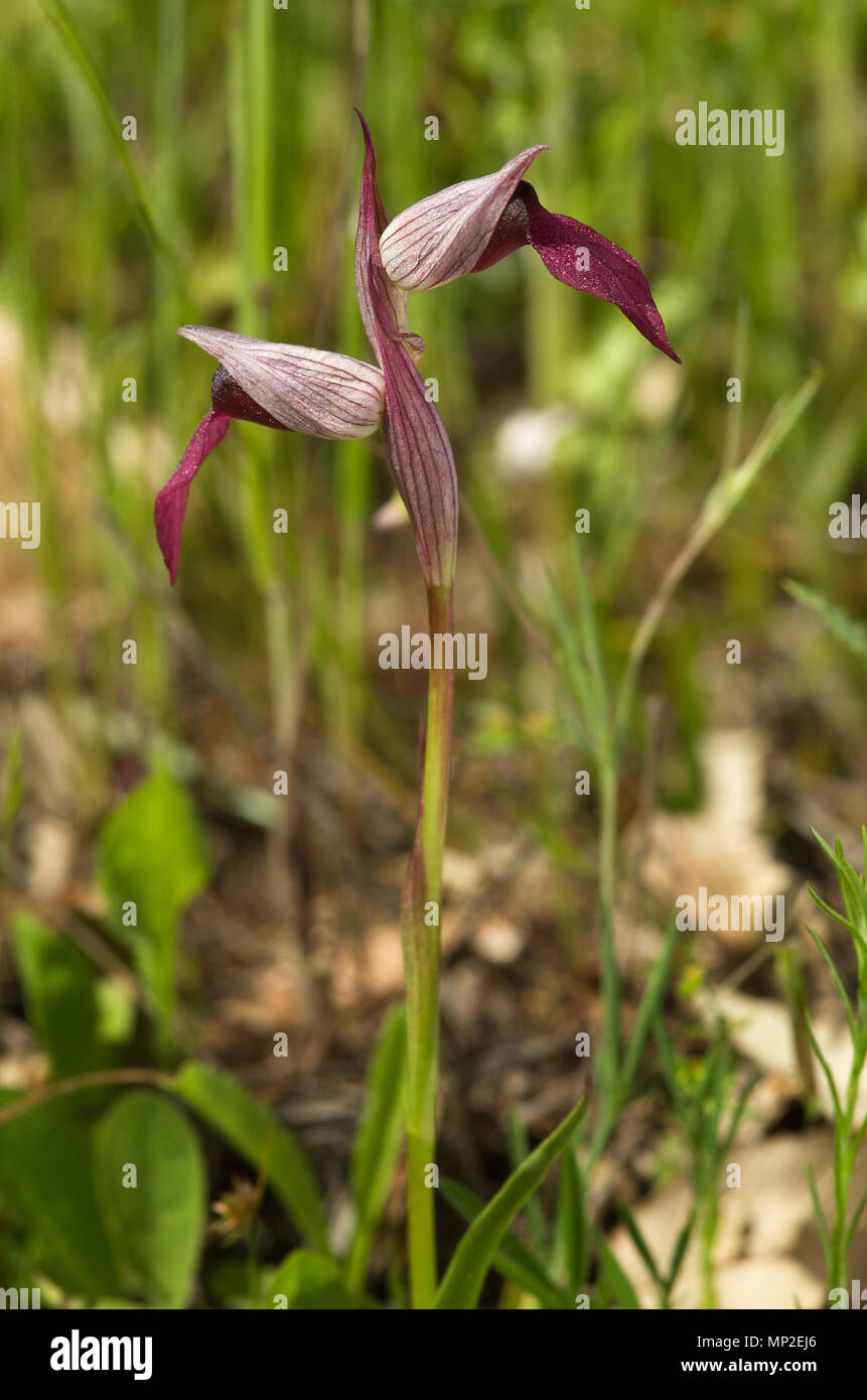 Lateral view of wild orchid called Tongue Serapias, or Tongue Orchid, (Serapias lingua) against a green natural background. Two flowers. Parque Natura - Stock Image
