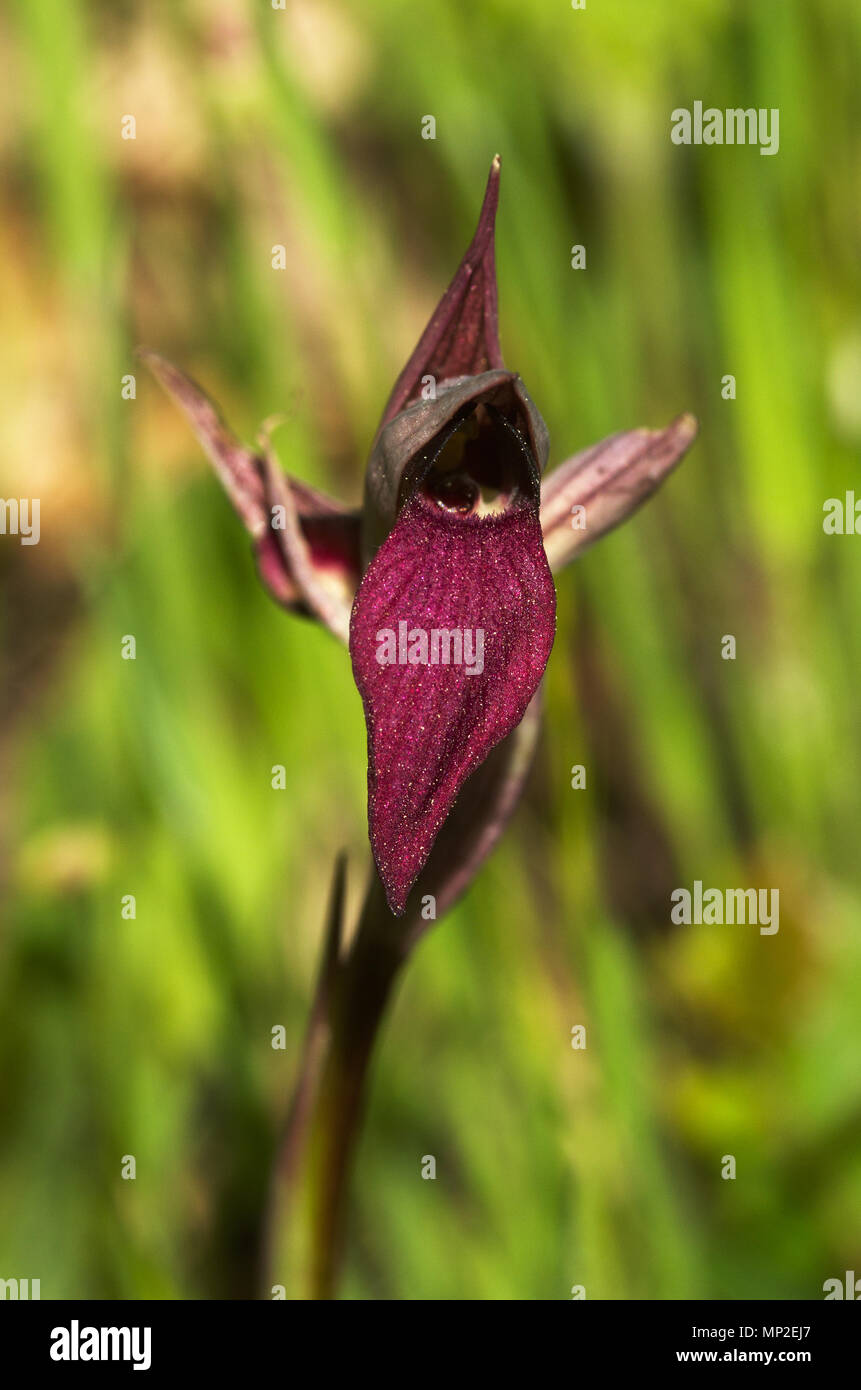 Frontal view of wild orchid called Tongue Serapias, or just Tongue Orchid, (Serapias lingua) against a green natural background. Parque Natural da Arr - Stock Image