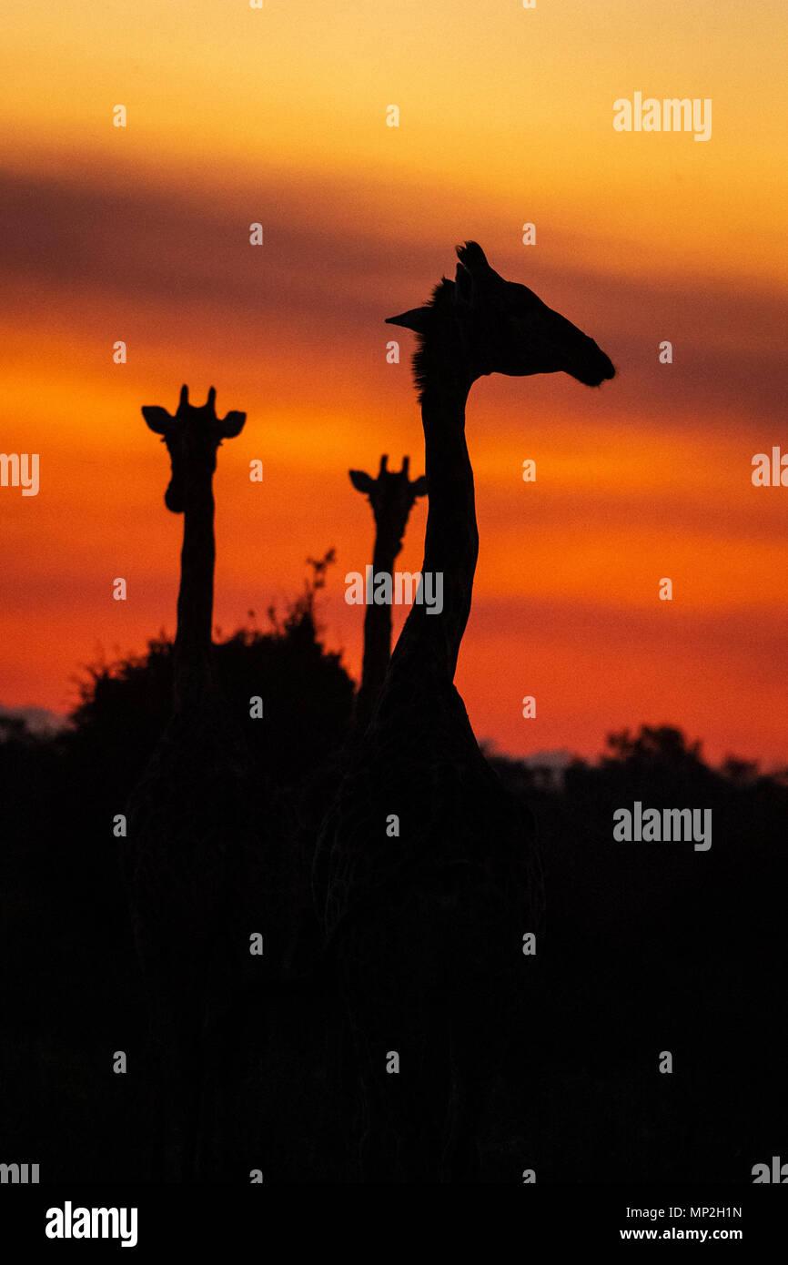 Two giraffe in the sunset in Mombo okavango Delta Botswana - Stock Image