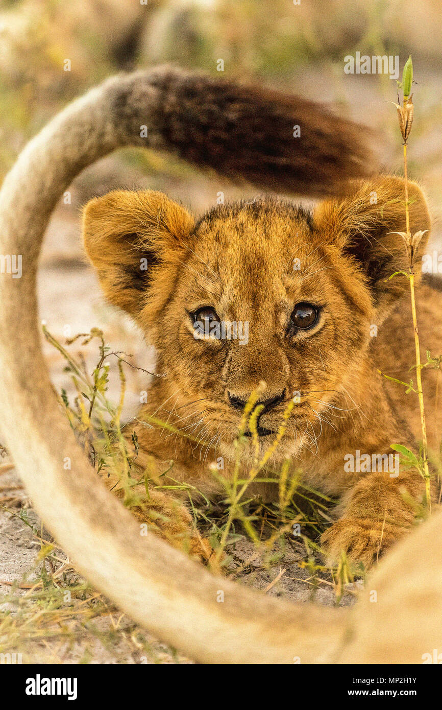 Lion cub lying within mothers tail in okavango delta - Stock Image