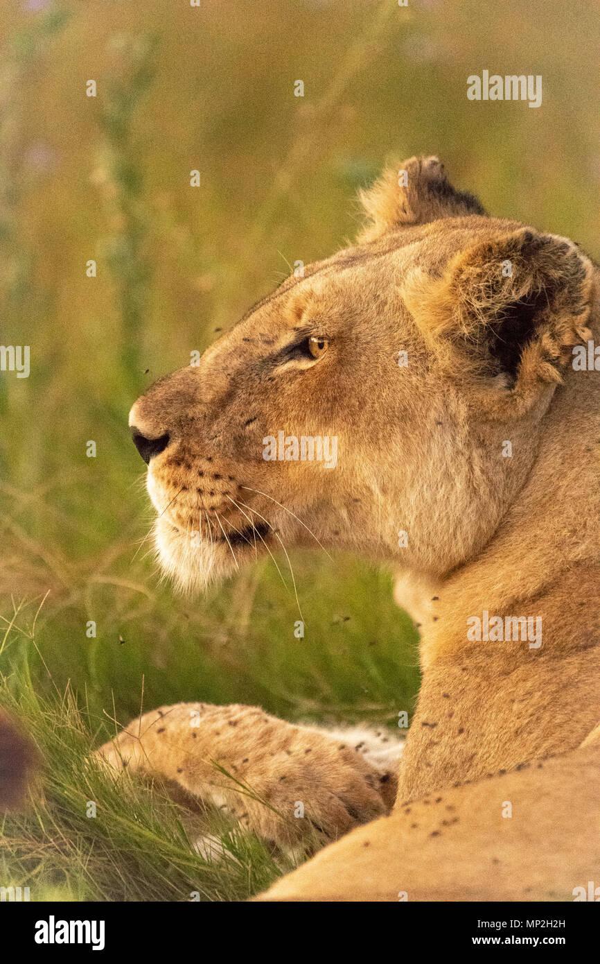 Lioness portrait - Stock Image
