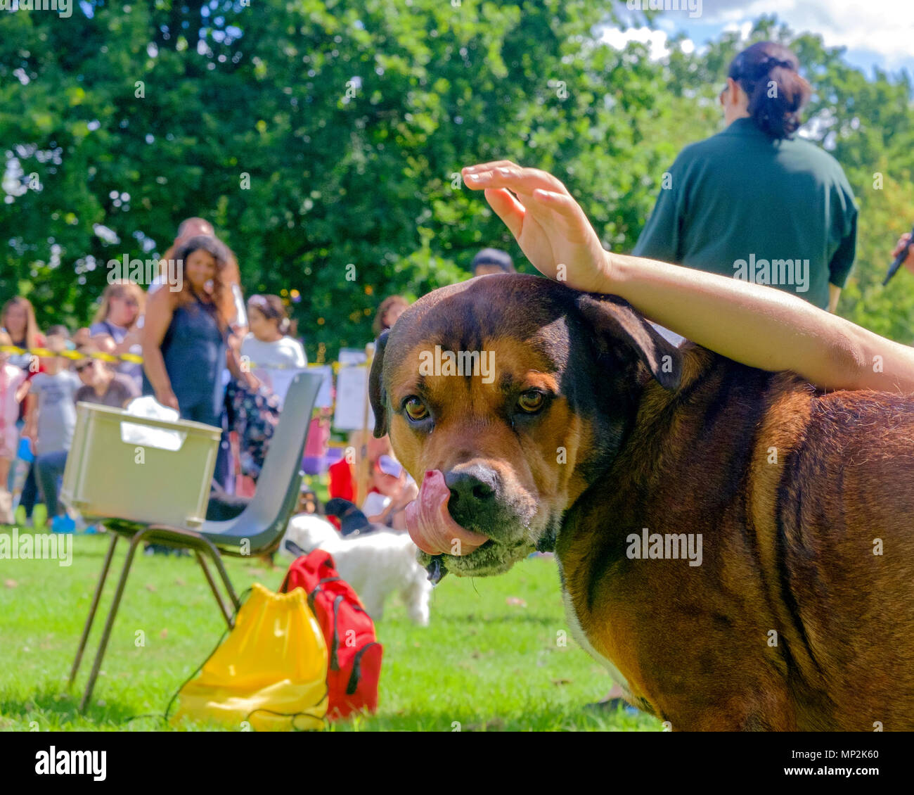 Brown dog with tongue out being petted at dog show in Canons Park, Edgware, North London, during annual Family Fun Day. Trees, people in  background. - Stock Image