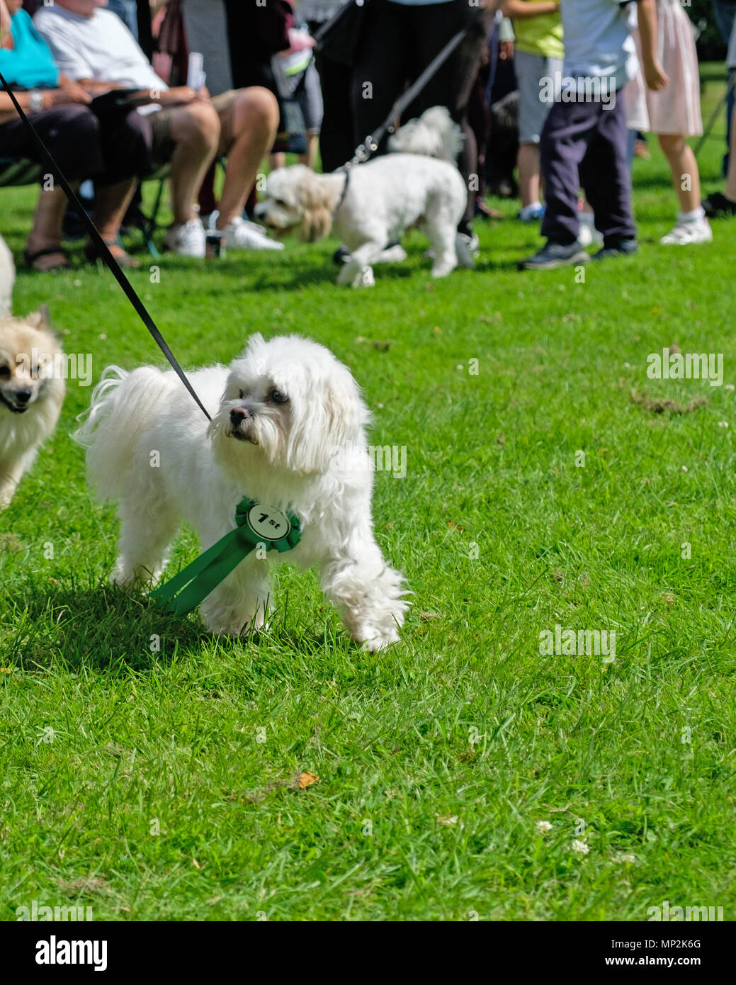 Small white dog with first prize ribbon walks on grass at Dog Show in Canons Park, Edgware, North London at annual Family Fun Day. Copy space. - Stock Image