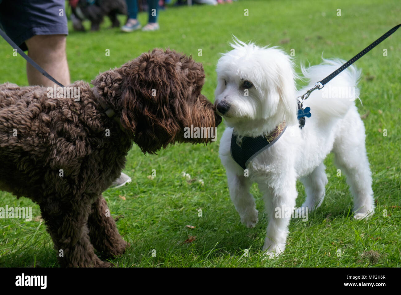 Black and white dogs affectionately rub noses at dog show in Canons Park, Edgware, North London, during annual Family Fun Day. Landscape. - Stock Image