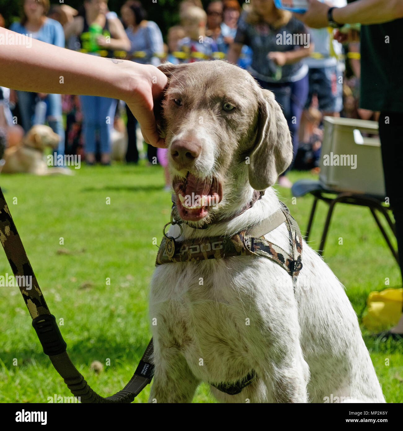 White & Brown dog enjoys  ear scratch from owner at dog show in Canons Park, Edgware, North London, during annual Family Fun Day. Square. - Stock Image
