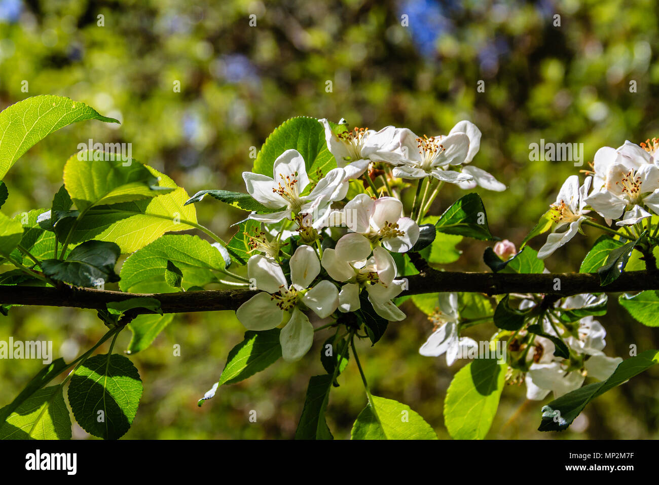 White blossom on a fruit tree, in a spring garden in Rothbury, Northumberland, UK. May 2018. - Stock Image