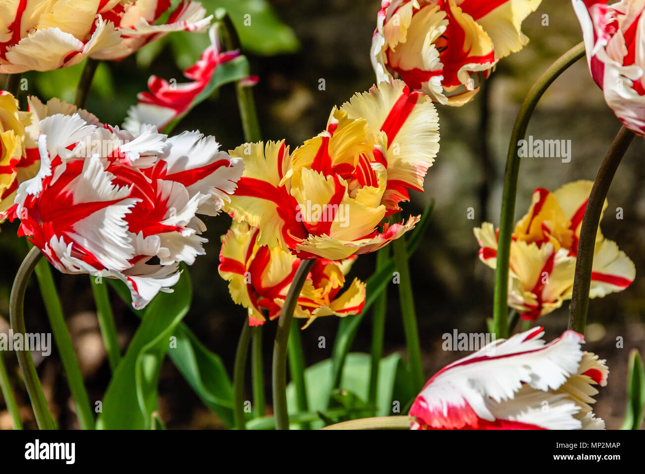 Flamboyant parrot tulips, May 2018 - Stock Image