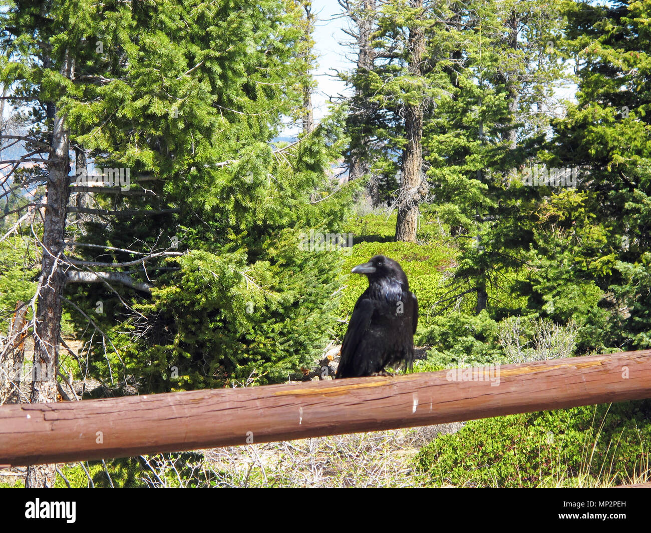 Black Raven Keeping Guard on Fence Rail with Forest Background - Stock Image