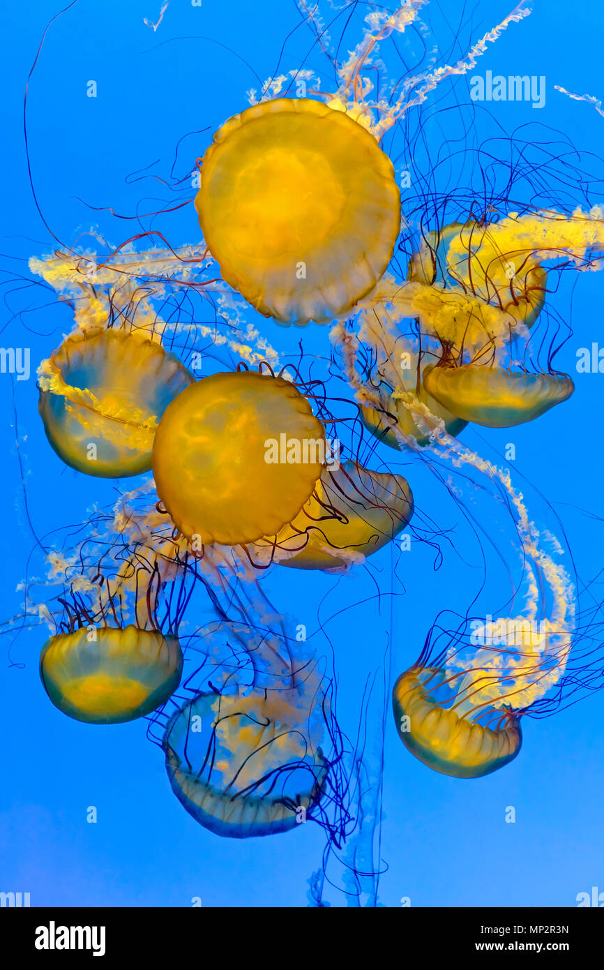 Pacific sea nettles / Chrysaora fuscescens jellyfish, Shanghai Ocean Aquarium, Shanghai, China Stock Photo