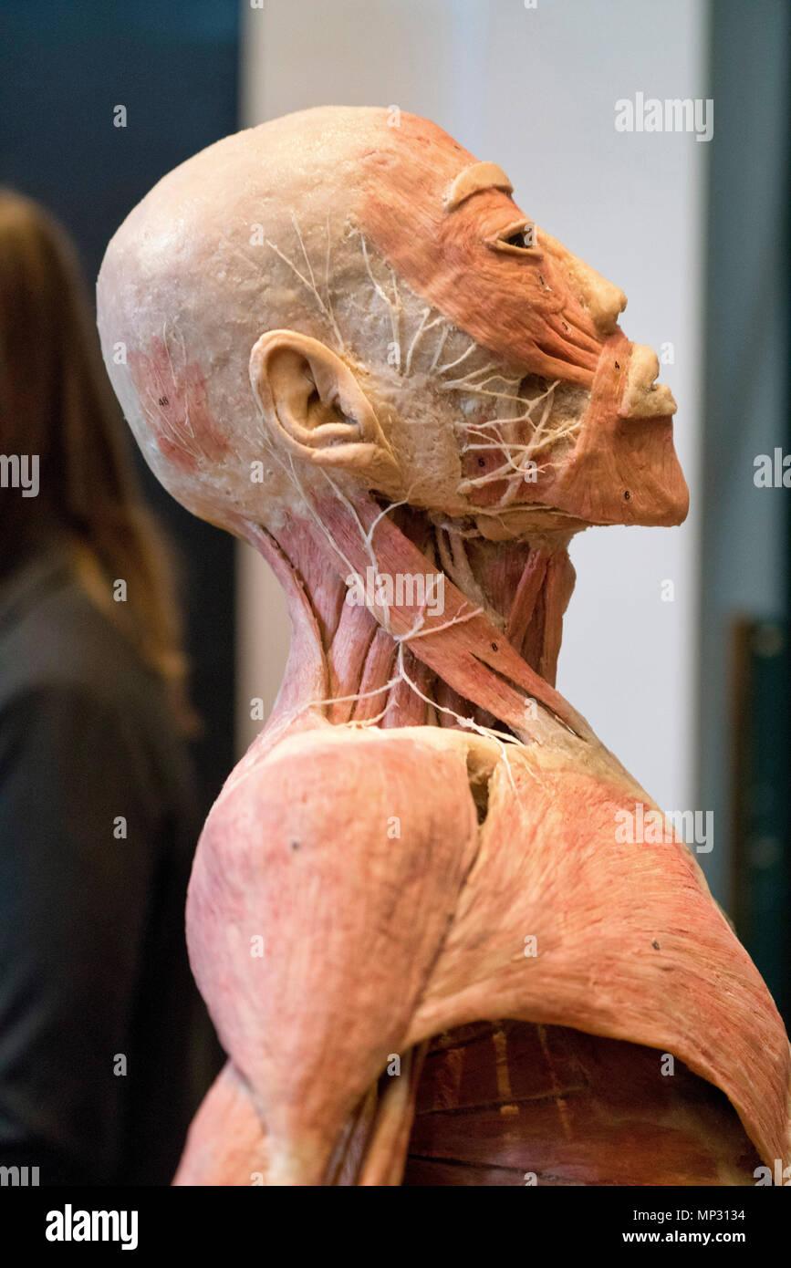 Anatomy Of A Real Human Head Stock Photo 185692840 Alamy