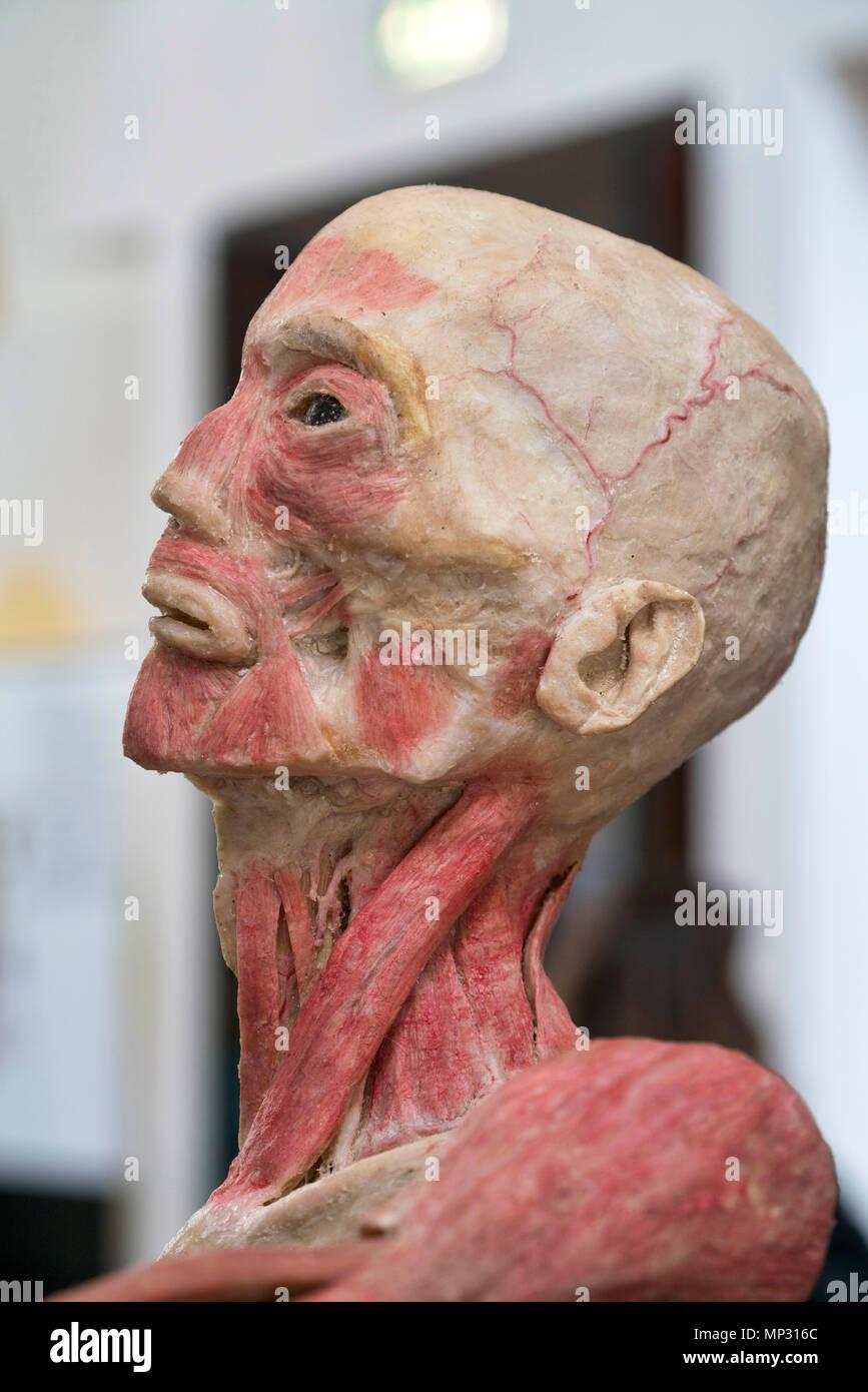 Anatomy Of A Real Human Head Stock Photo 185692932 Alamy