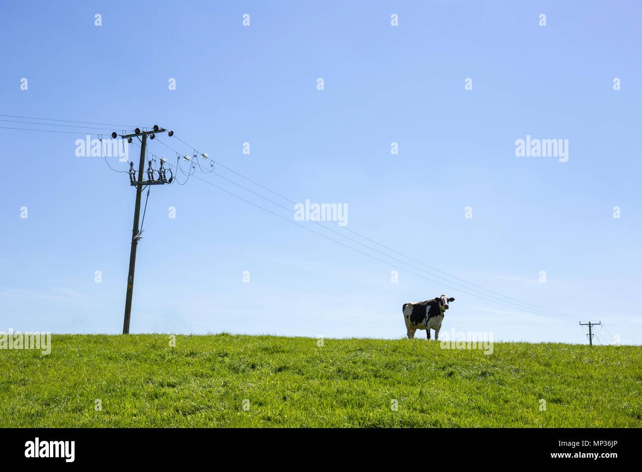 Single cow with power lines in field Stock Photo