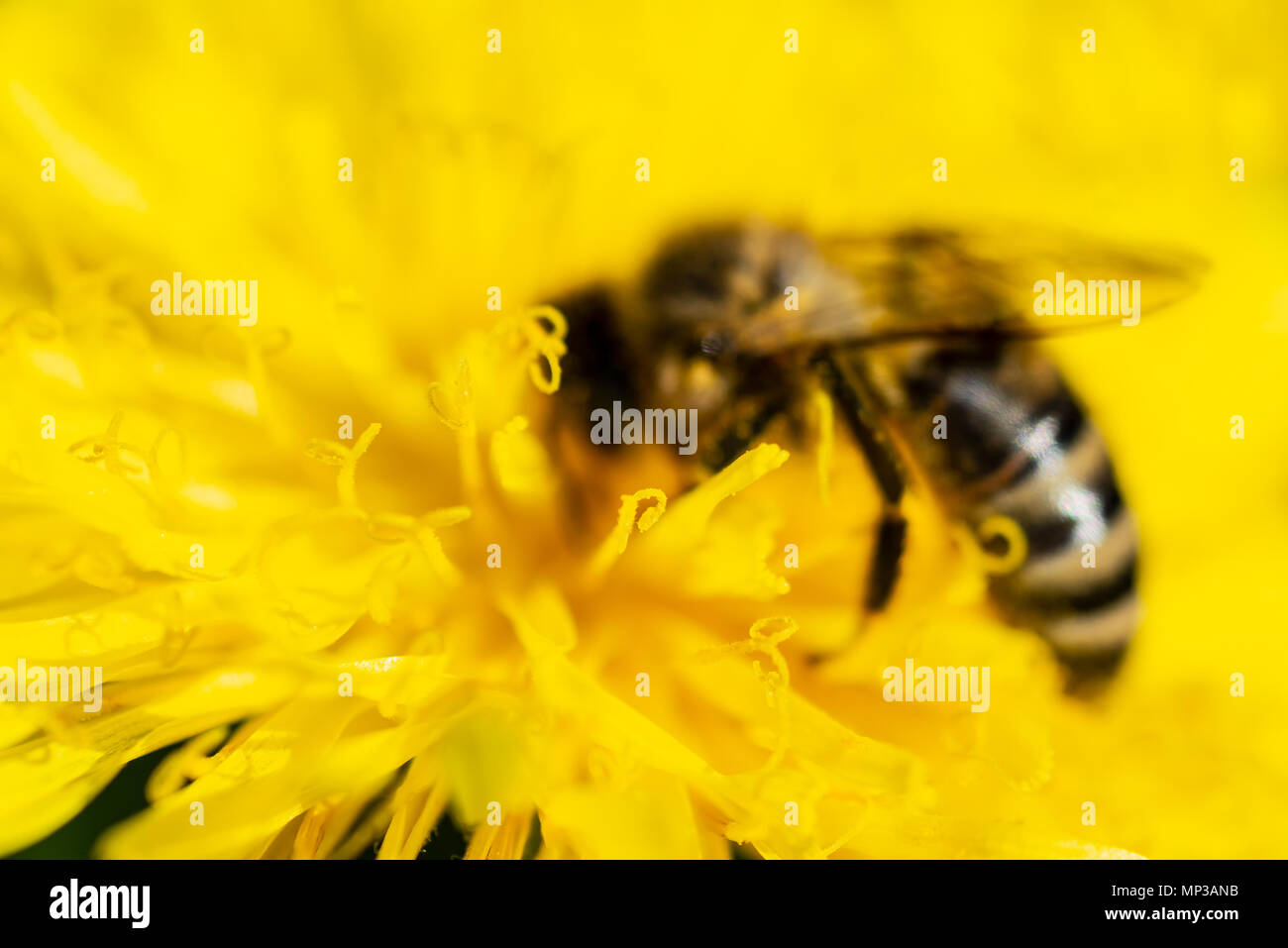 The bee is drinking nectar from a yellow dandelion. Soft focus photo. - Stock Image