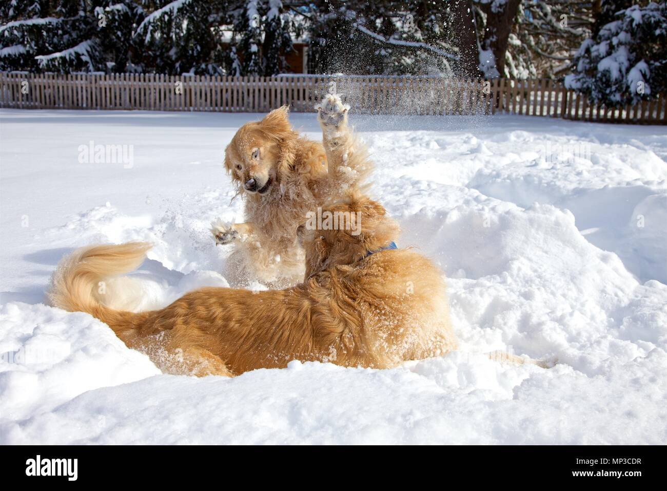 Brother and sister Golden Retrievers love playing in the snow. - Stock Image