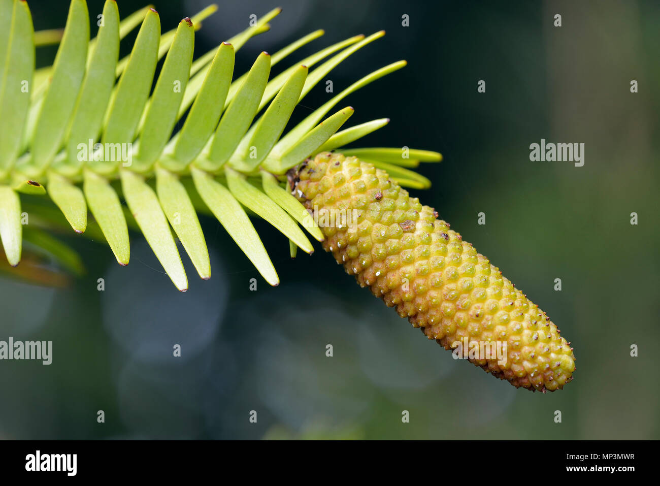 Cone of Wollemi Pine - Wollemia nobilis Ancient Tree species from Wollemi National Park in New South Wales, Australia - Stock Image